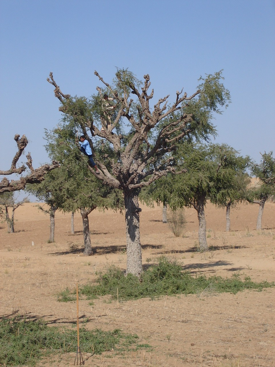 Lopping of Khejri tree for fodder and fuel in Harsawa village