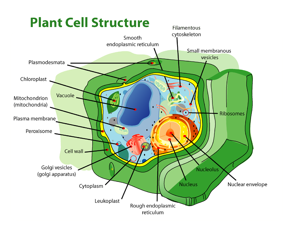 Plant Cell Structure | Biology I