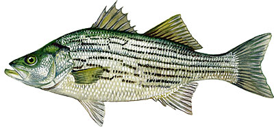 Hybrid Striped Bass.jpg