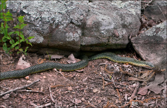 What does a black racer snake look like