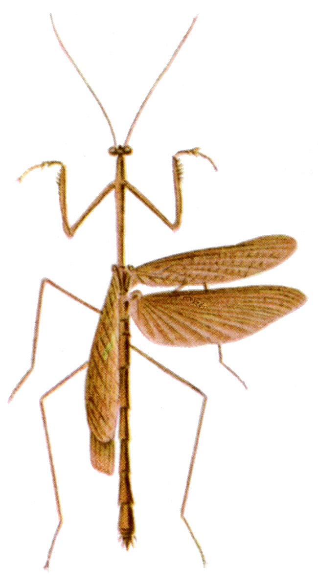 thesprotia  genus