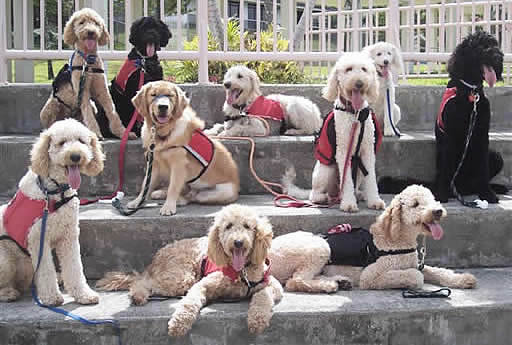 Guide Dog Breeds For The Blind