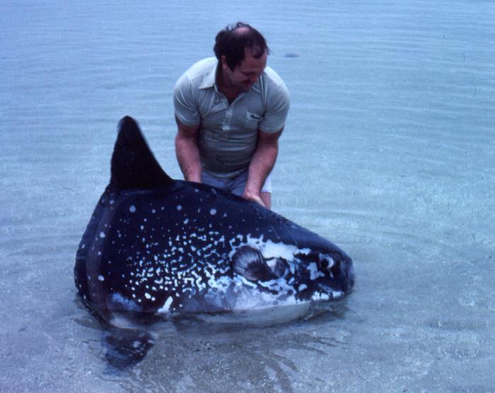 Mola Ramsayi Wikipedia