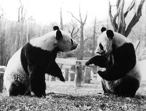 Ling-Ling and Hsing-Hsing Pandas given to the US by China after Nixons 1972 visit