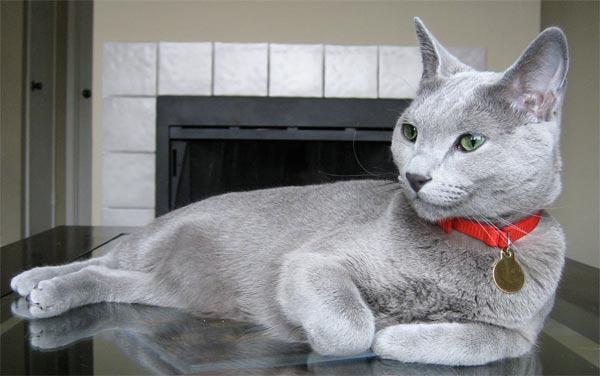 Russian Blue Cat Adventurer Clip Art