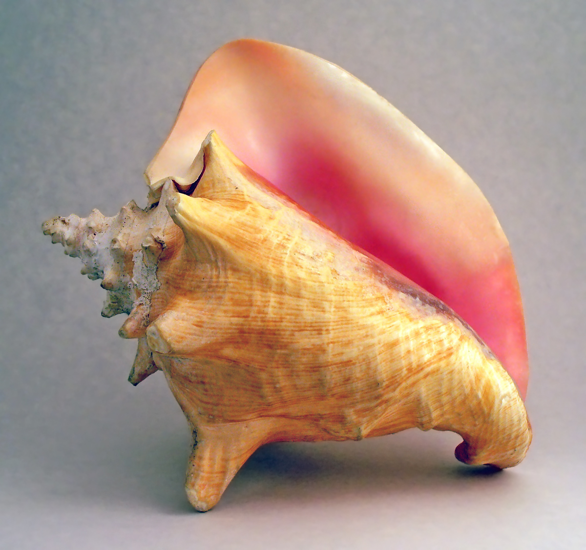 Wikipedia:Featured picture candidates/Conch shell - Wikipedia