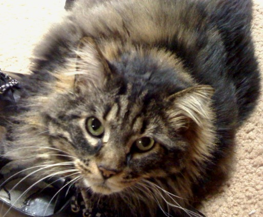 File:Maine-coon.jpg - Wikipedia