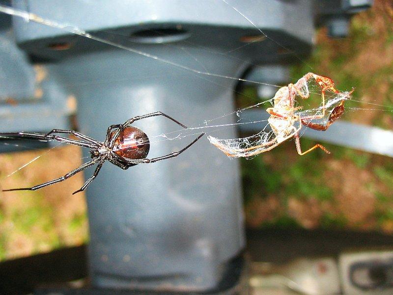 File:Black Widow vs Scorpion jpg - Wikipedia