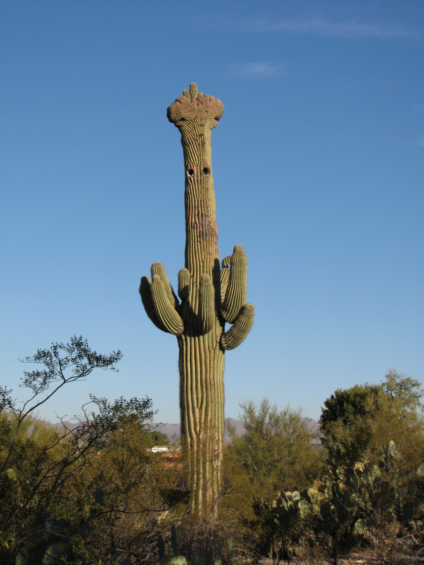 a crested saguaro at tohono chul park in casas adobes arizona
