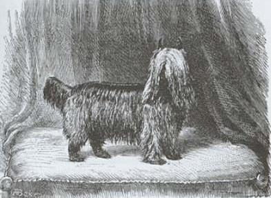Yorkshire terrier Huddersfield_ben