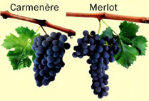 Differences between Carménère and Merlot grapes