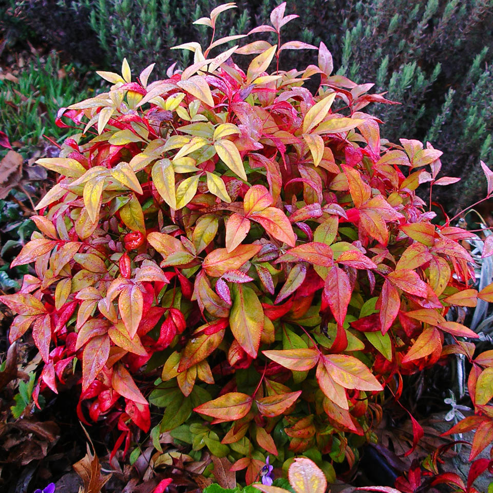 http://upload.wikimedia.org/wikipedia/en/f/f3/Plant-nandina-domestica-IMGP1261reduced.jpg