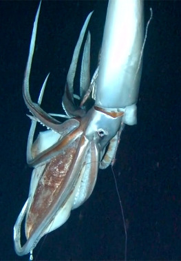 List of giant squid specimens and sightings (21st century) - Wikipedia