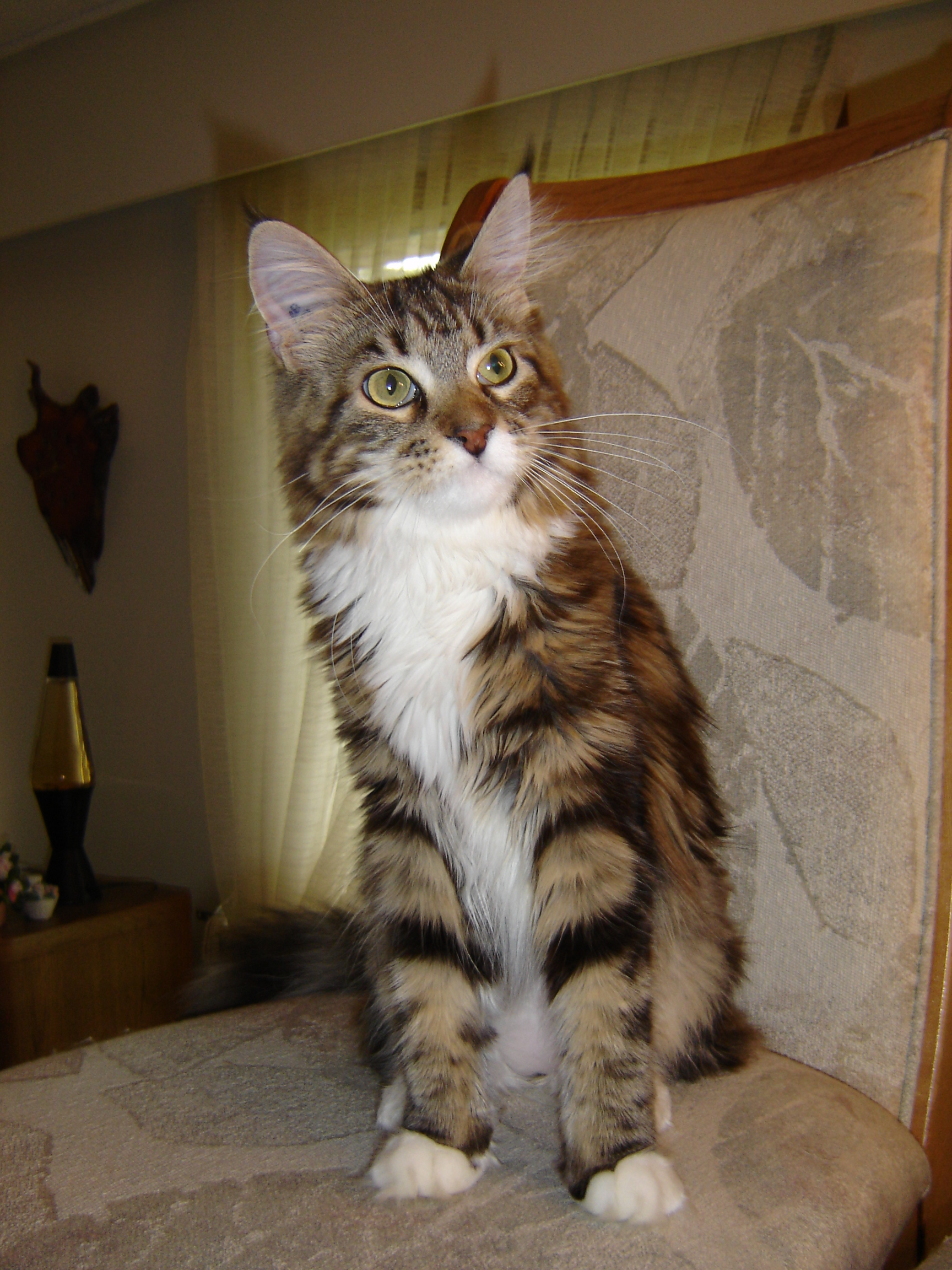 File:Maine coon.JPG - Wikipedia Tabby Maine Coon Kitten