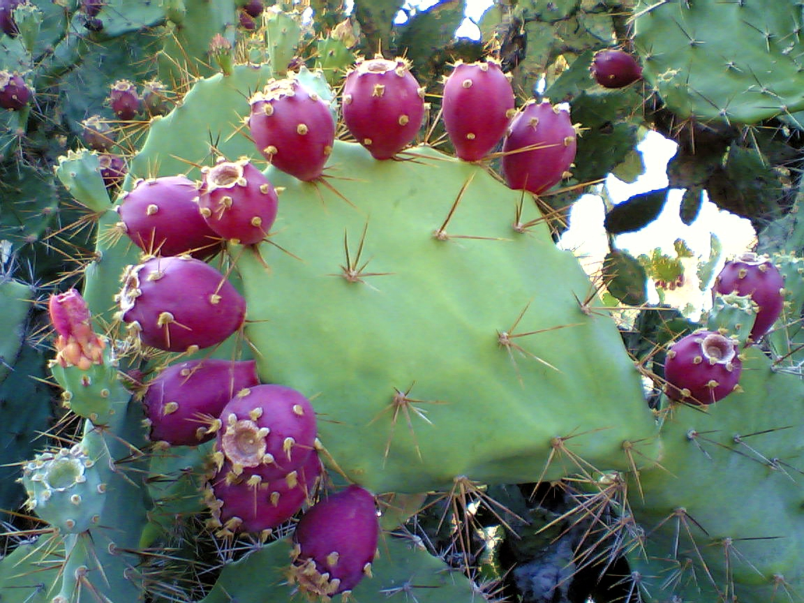 http://upload.wikimedia.org/wikipedia/en/f/f9/Prickly_pear_cactus_beed.jpg