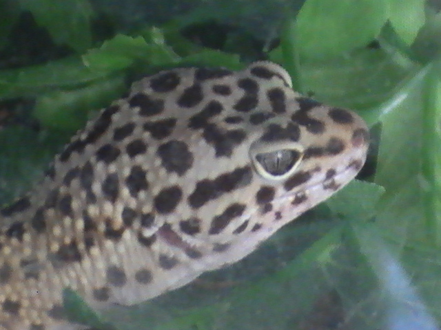 Leopard gecko  Wikipedia