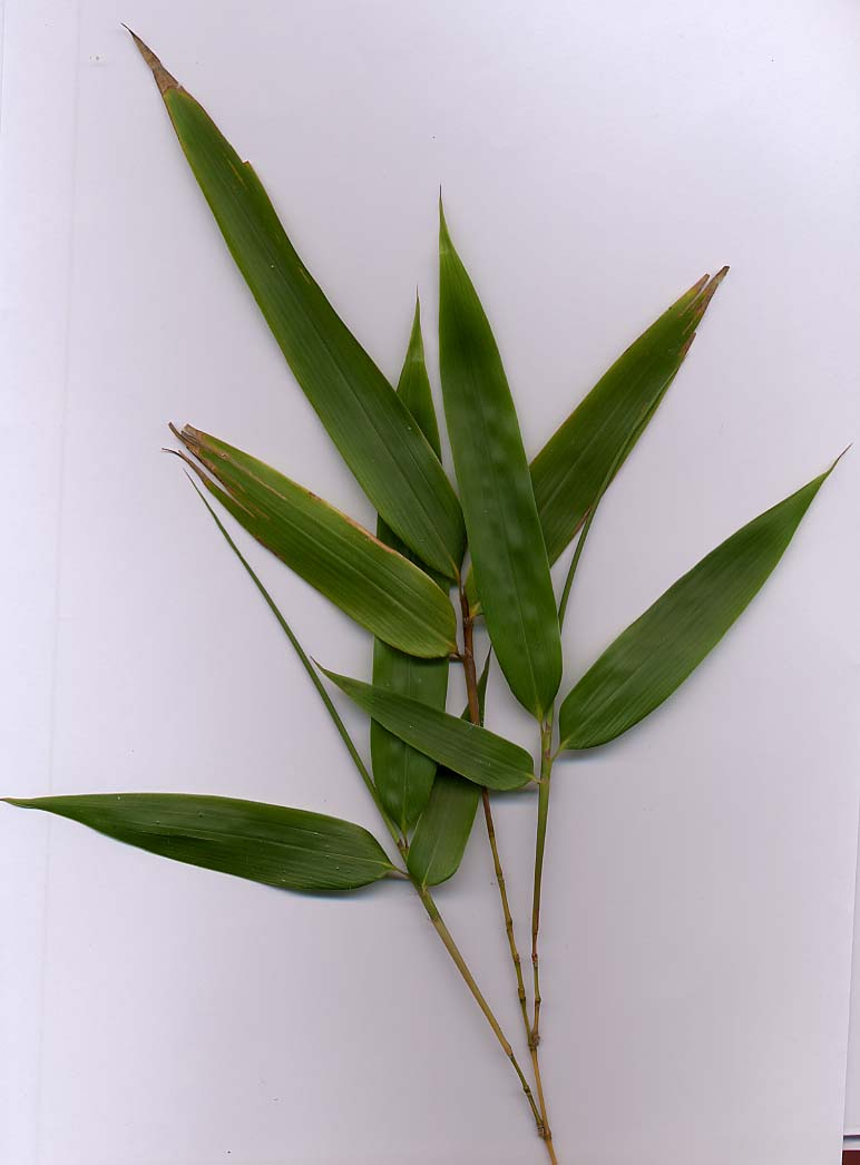 Bamboo foliage with yellow stems (probably Phyllostachys aurea)