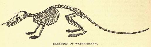 [Image: Watershrewskeleton.jpg]