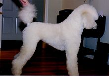 Poodle Stud Dogs Uk