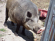 Tusk, the live mascot for the University of Arkansas.