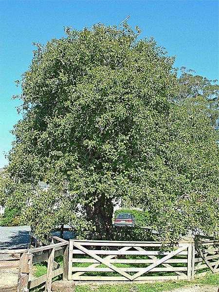 File:NZ.oldest.fruit.tree.JPG