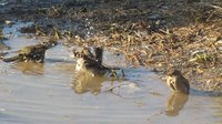 File:Sparrows bathing.ogv