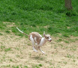 Italian Greyhound - Example of a double suspension gallop, note all four feet off the ground.