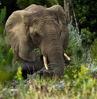 Knysna elephants - A feeding Knysna elephant by Hylton Herd (SANParks)