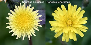 Sonchus - Sonchus tenerrimus and Sonchus oleraceus infest many crops in Italy, especially in the Southern area of the peninsula. They are considered good tasting edible plants and are cooked with spaghetti.