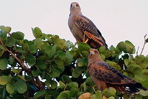 Savannah hawks pantanal