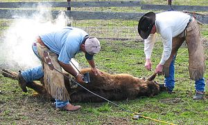 A young steer being branded with an electric b...