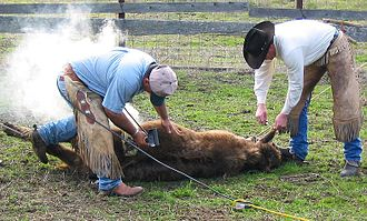 Livestock branding - A young steer is being branded with an electric branding iron and cut to make an earmark.