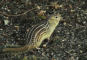 Thirteen-lined ground squirrel - Image: Thirteen lined ground squirrel