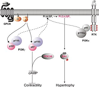 P87PIKAP - The context of the function of p87.