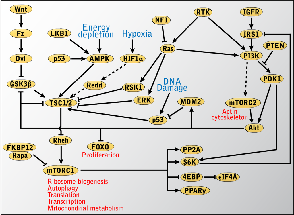 File:MTOR-pathway-betz.png - Wikipedia, the free encyclopedia