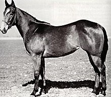Black and white side view of a dark colored horse, with its haltered head turned slightly towards the camera to show a white spot on its forehead