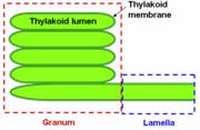 Thylakoid structures