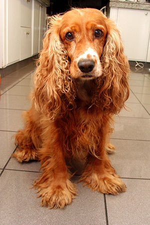Home cocker spaniel