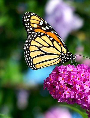 Buddleja davidii - Image: Monarch Butterfly Flower