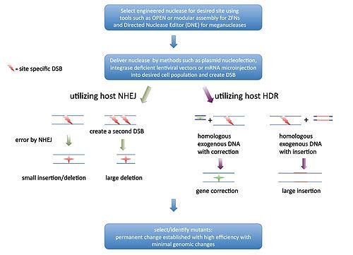 Genome editing - Wikipedia