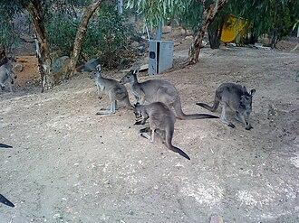 John Forrest National Park - Kangaroos at John Forrest National Park