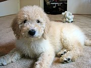 2 1/2-month-old Goldendoodle pup.