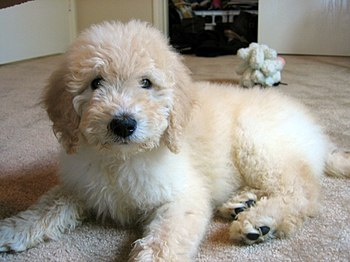 2½-month-old Goldendoodle pup.