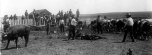 Southern Cheyenne and Arapaho youths learning to brand cattle at the Seger Indian School, Oklahoma Territory, ca. 1900.