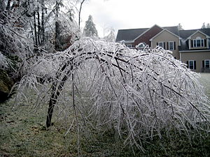 Bent birch tree 2 dec 2008