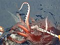 list of colossal squid specimens and sightings wikipedia