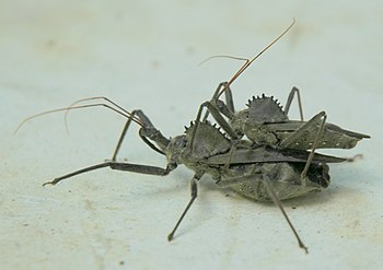 Wheel bugs mating
