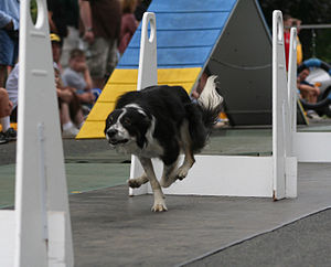 Flyball - A Border Collie jumps hurdles in a flyball demonstration.