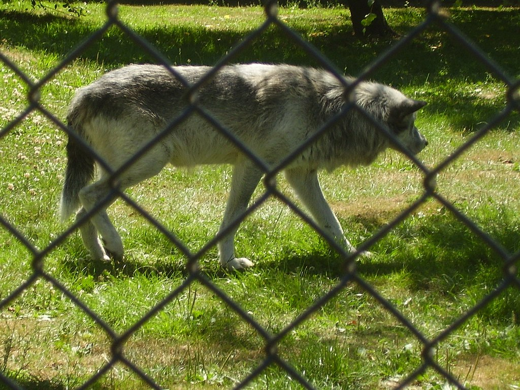 File Canadian Timber Wolf Behind A Chain Link Fence At