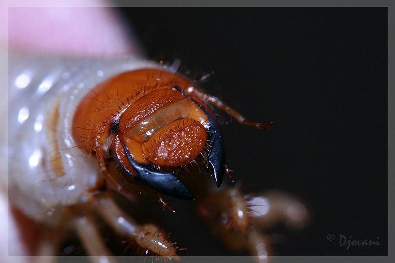 Cockshaferlarvae